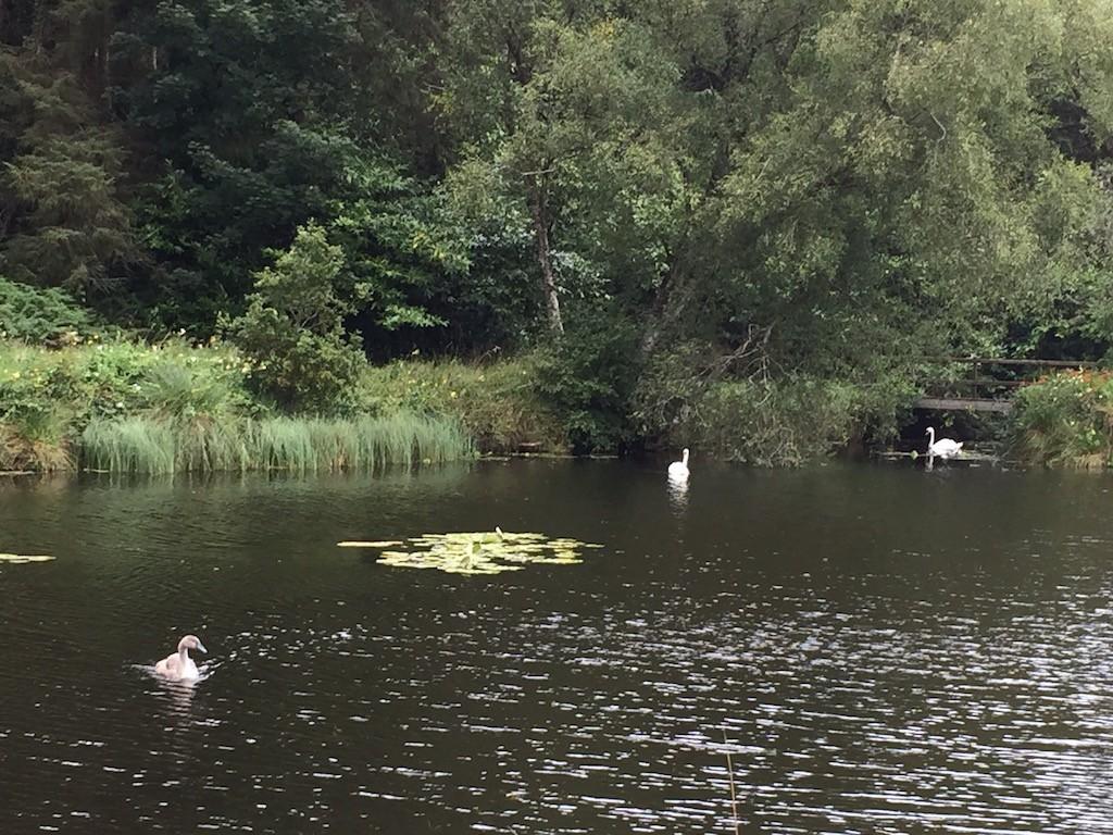 Tullynally garden swans 2